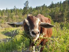 Kamloops' secret weapon in battle against noxious weeds: 440 goats