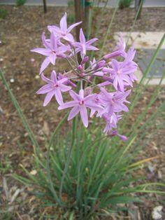 Society Garlic- Tulbaghia violacea (tough as, but needs reg dividing)