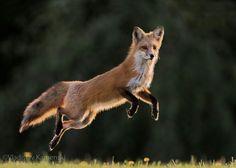 Fox #RedFox