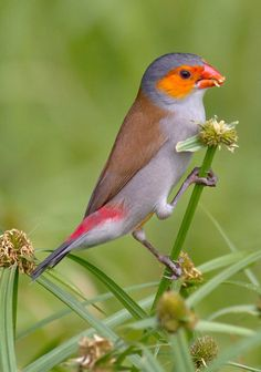 Orange-cheeked Waxbill (Estrilda melpoda). A finch of western and central Africa. photo: Chong Lip Mun.