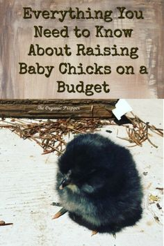 Everything You Need to Know About Raising Baby Chicks on a Budget - The Organic Prepper via Backyard Farming, Chickens Backyard, Chicken Incubator, Raising Chickens, Keeping Chickens, Baby Chicks, Need To Know, Budgeting, Old Things