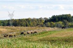 Nachusa Grasslands: Home for both bison and volunteers | Medill Reports Chicago