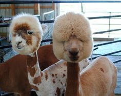 BAAAAAD HAIR DAY!!!   LOL   Two adorable recently sheared alpacas at That'll Do Farm | Ohio alpacas