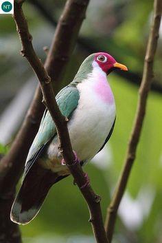 Bồ câu/Cu xanh Jambu Đông Nam Á - Jambu fruit dove (Ptilinopus jambu)(Columbidae) IUCN Red List 3.1 : Near Threatened (NT)(Loài sắp bị đe dọa)