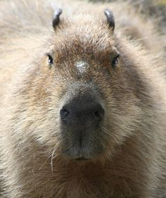 Capybara-from this angle it looks even funnier than they normally do lol