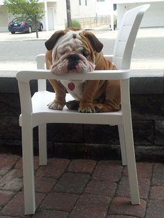Bulldog :)