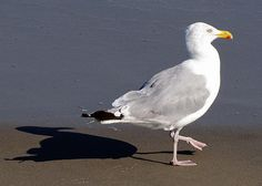 Seagull being followed by his shadow | Flickr - Photo Sharing!