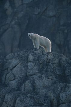 Polar bear (Ursus maritimus) on Rock, Spitsbergen, Norway || Wild Life Extra
