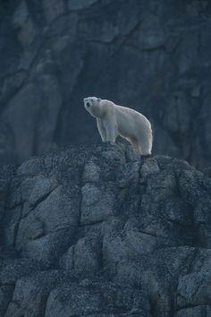 Polar bear (Ursus maritimus) on Rock, Spitsbergen, Norway || Wild Life Extra