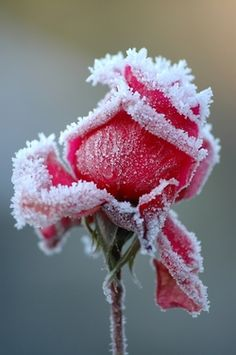 """a rose in the winter. """"Like a rose, under the April snow"""". Frozen Rose, Frozen Heart, Winter Rose, Winter Flowers, Winter Snow, Flowers Nature, No Rain, Colorful Roses, Daisies"""