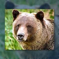 """How did the #Grizzly #bear get its unfortunate Latin Name?  A mistranslation *into* latin as a """"grisly"""" bear!"""