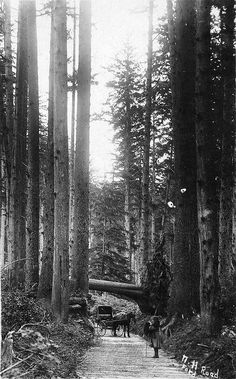 Plank road in forest in Tillamook County, Oregon. It used to be a heck of a trek to get to the beach!
