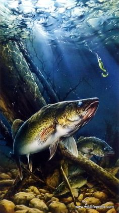 A walleye is about to take the bait in this great fishing scene by Dan Hatala. Walleye are not as challenging to catch as other fish, but they are highly valued for their great taste. Available in two