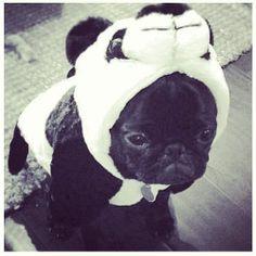 pug baby