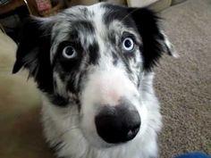 Dog Talk - Conversation With An Australian Shepard - YouTube