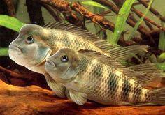 Steatocranus casuarius - Lumpyhead cichlids (Central Africa)  I use to have an old Buffalo Head