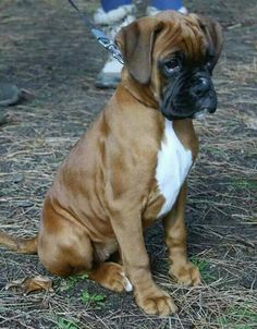 Look at the baby! Boxer Dog Puppy, Boxer Breed, Brindle Boxer, Boxer Mom, Boxer And Baby, Baby Dogs, Dog Cat, Cute Puppies, Cute Dogs