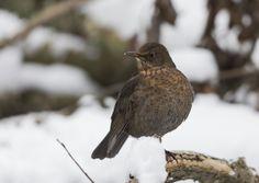 Black bird winter