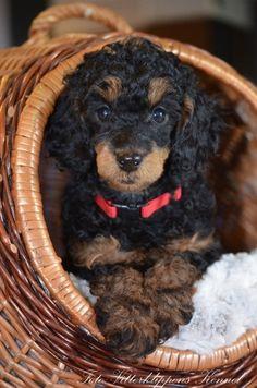 Teacup Poodle Puppies, Tea Cup Poodle, Phantom Poodle, Poodle Hair, Fur Babies, Maya, Doggies, Mountain, Animals