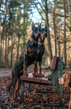 The Doberman Pinscher is among the most popular breed of dogs in the world. Known for its intelligence and loyalty, the Pinscher is both a police- favorite Big Dogs, I Love Dogs, Dogs And Puppies, Doggies, Beautiful Dogs, Animals Beautiful, Cute Animals, European Doberman, Doberman Pinscher Dog