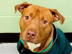 "TO BE DESTROYED ~WED 2/26/14 Manhattan Center CAPTAIN A0992084 MALE TAN/ WHITE, PIT BULL MIX, 2 yrs OWNER SUR Captain lived in his previous home for a few years. Owner reported that he is friendly with children and strangers. Captain is playful, loving, charming. Knows ""sit"" Knows ""lie down"" Knows ""give paw"" Walks well on leash. Is crate & house trained. Would do best as only dog for now. This active boy would make a great partner for running, walking, hiking, or playing with his own family!"