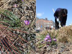 Uncovering crocus blooms is one of the best parts of High Line Spring Cutback.