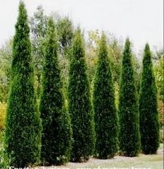 Dwarf Italian Cypress to replace those other tall terrible plants in the SE corner. (This pic is just to remind me since the link leads to regular sized Italian Cypress trees.)