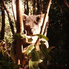 So many of these cuddly guys at Currumbin Wildlife Sanctuary  #notabear #koala…