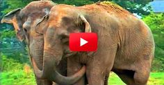 Free at Last — Shirley Joins the Elephant Sanctuary After Fifty Years in Captivity!