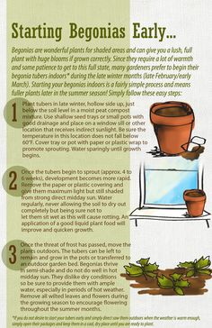 Starting tuberous Begonias in pots.
