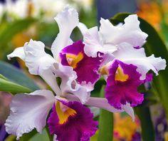 Ingezonden foto. Paul Gray's Gallery. #orchid #orchidee #flowers