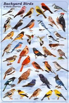 Laminated Backyard Birds Educational Science Chart Poster Laminated Poster 24 x Little Birds, Love Birds, Beautiful Birds, Small Birds, Animals Beautiful, Beautiful Pictures, Funny Bird, Bird Identification, Bird Poster
