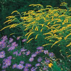Yellow goldenrod grass with Aster.