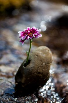 I had a single pink/purple flower and thought I'd do something special with it by placing it in a stone and setting it in a stream. Rock Flowers, Exotic Flowers, Amazing Flowers, Purple Flowers, Wild Flowers, Beautiful Flowers, Pink Purple, Dame Nature, Bloom Where Youre Planted