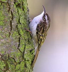 Treecreeper. Have seen one in our garden in South Street, St Andrews