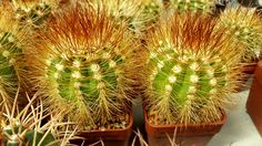 Melocactus perezassoi Herbs, Food, Meal, Eten, Herb, Meals, Spice