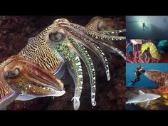 Reef Life of the Andaman: an in depth journey into one of the most amazing tropical reefs in the world. You will experience everything from the colorfully exotic reefs, snails, eels, shellfish, turtles, fish, sharks, rays, octopus, and more.