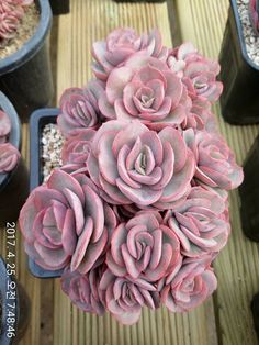 Ideas for pink succulent shades Pink Succulent, Colorful Succulents, Growing Succulents, Cacti And Succulents, Planting Succulents, Planting Flowers, Succulent Gardening, Succulent Terrarium, Garden Plants