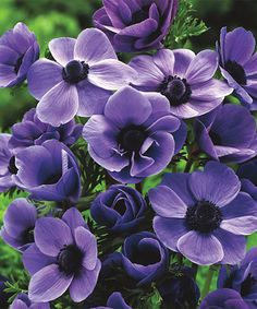 Purple Haze Windflower Set