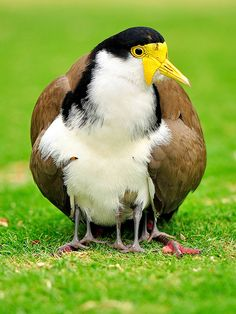 Masked Lapwing mother guiding her chicks.