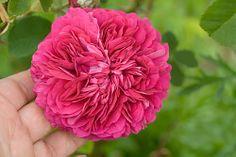 Damask rose 'Duc de Cambridge'