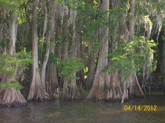 Blue Springs Florida Cypress knees