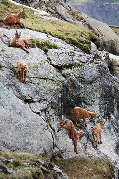 Ibex descending a steep slope in the Mattertal in Valais, Switzerland