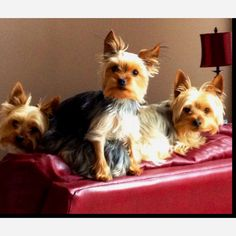 Yorkies :) Gotta love them.