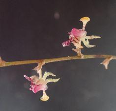 Sigmatostalix brownii