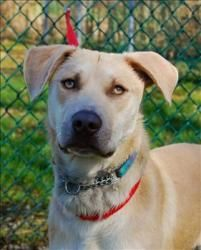 Zeke is an adoptable Pit Bull Terrier Dog in Burnaby, BC.