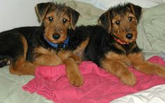 Conformation - ROCK RANCH FAMILY AIREDALES