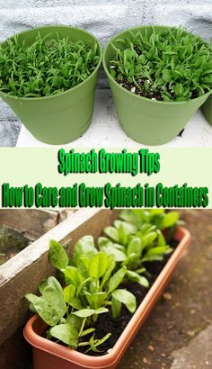 Spinach Growing Tips How to Care and Grow Spinach in Containers is part of Balcony garden Tips - Spinach Growing Tips How to Care and Grow Spinach in Containers The spinach plant does well in shady balcony gardens and in cooler areas Grow Spinach in Diy Gardening, Organic Gardening Tips, Hydroponic Gardening, Hydroponics, Balcony Gardening, Organic Compost, Apartment Gardening, Garden Soil, Garden Care