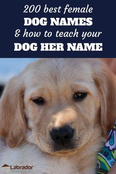 200 best female dog names and how to teach your dog her name - Yellow Lab puppy looking at the camera. Best Female Dog Names, Puppies Names Female, Yellow Lab Names, Black Lab Names, Black Labs, Big Dog Names, Puppy Names, Best Girl Dog Names, Labrador Names