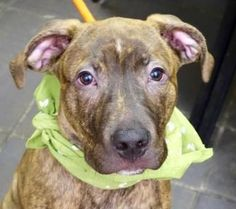 ●1•9•17 SL●NYC ACC A1100895 Check out Rudy's profile on AllPaws.com and help him get adopted! Rudy is an adorable Dog that needs a new home. https://www.allpaws.com/adopt-a-dog/american-pit-bull-terrier/5716984?social_ref=pinterest